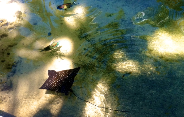 Sting ray in the pool!